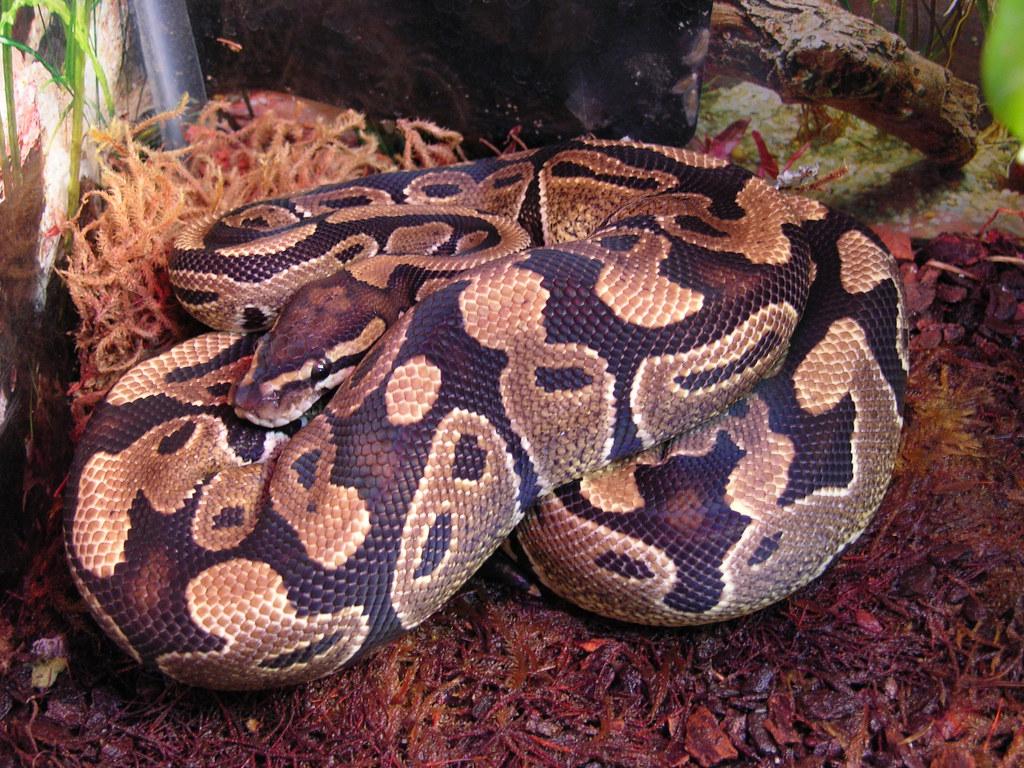 ball python enclosure guide
