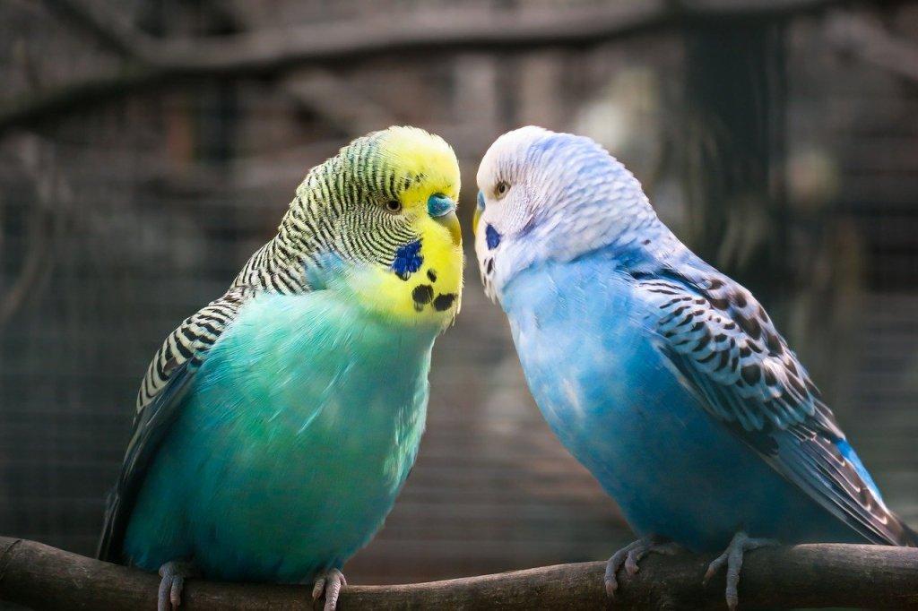 blue parakeet guide