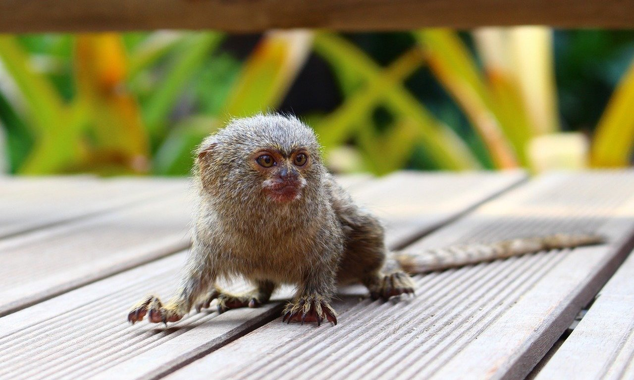 pygmy marmoset care guide