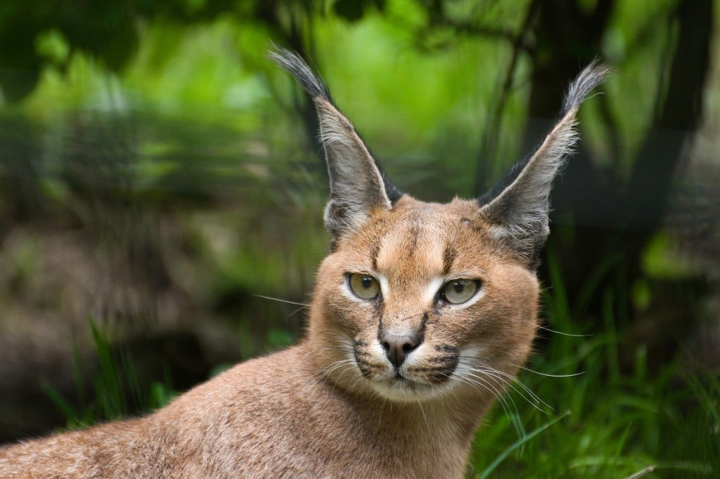 caracals as pets