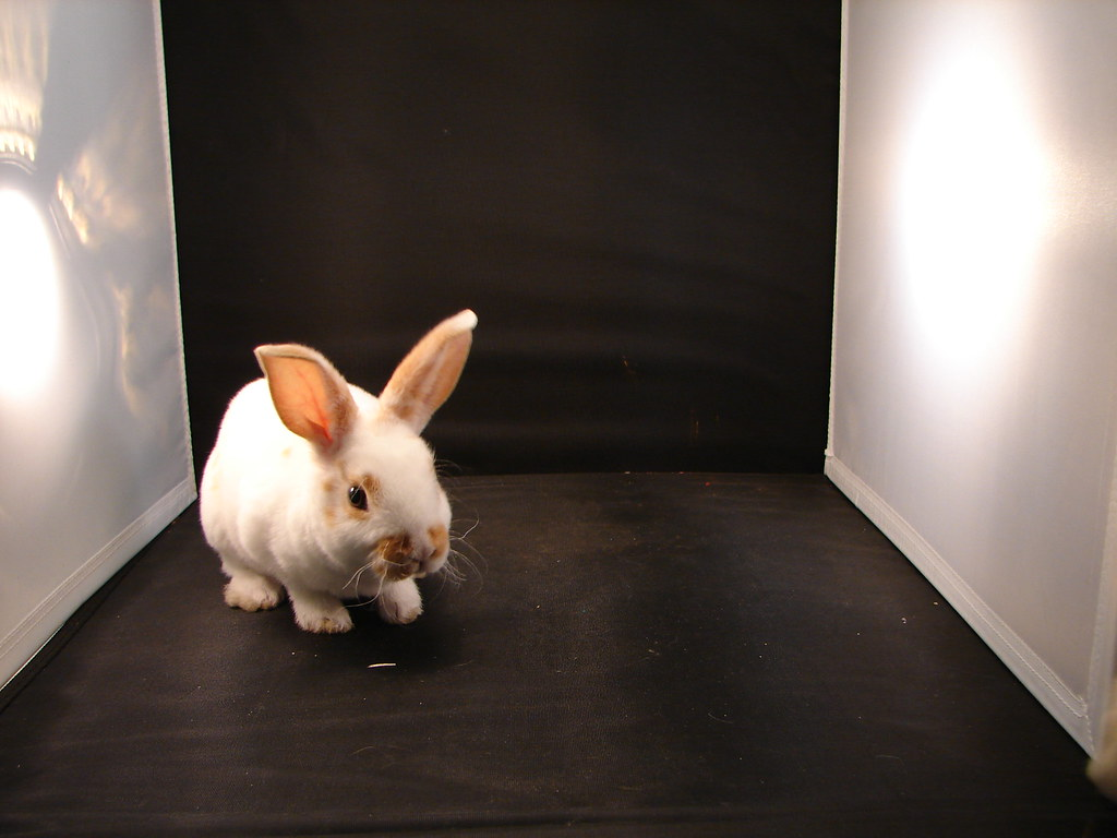 mini rex rabbit pet